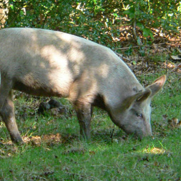 Pannage Pork – Acorn-fed Pork from the New Forest