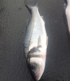 wild bass