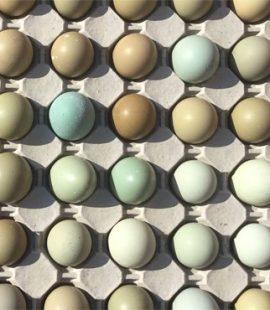 Pheasant Eggs